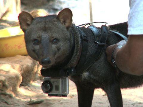 Short-eared dog The Elusive ShortEared Amazon Dog