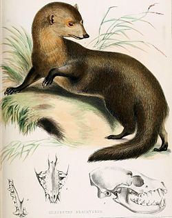 Short-tailed mongoose httpsuploadwikimediaorgwikipediacommonsthu