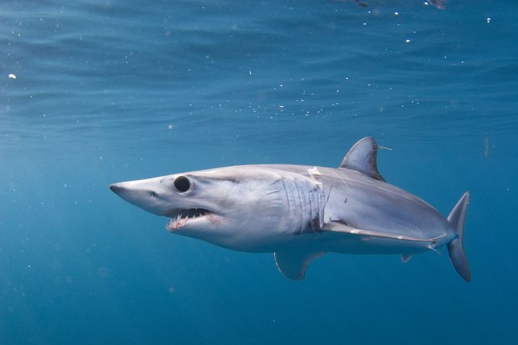 Shortfin mako shark Shortfin mako shark SWFSC
