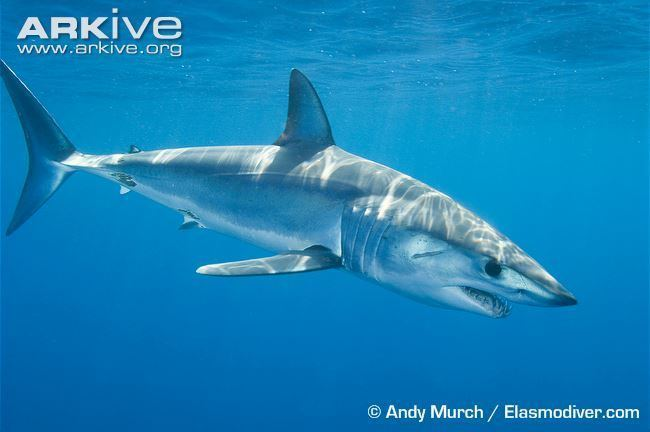 Shortfin mako shark Shortfin mako videos photos and facts Isurus oxyrinchus ARKive