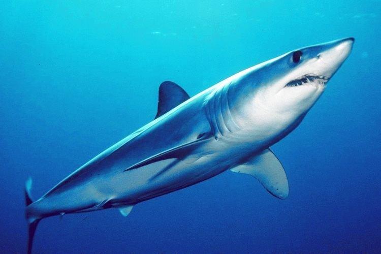 Shortfin mako shark Shortfin mako shark Wikipedia