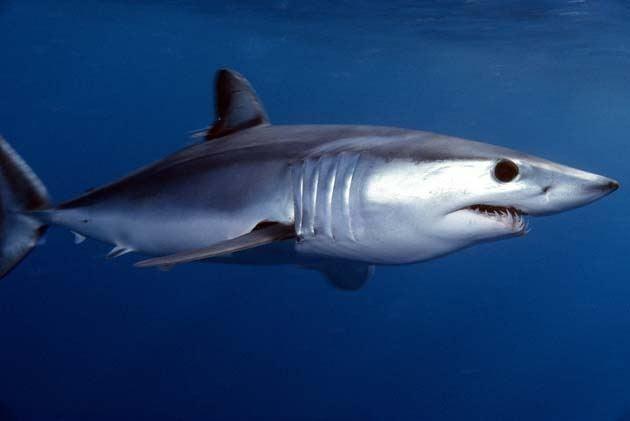 Shortfin mako shark wwwcmsintmanagesitesdefaultfilesuploadsSho