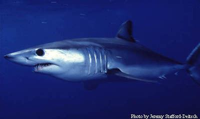 Shortfin mako shark Shortfin Mako Sharks Isurus oxyrinchus MarineBioorg