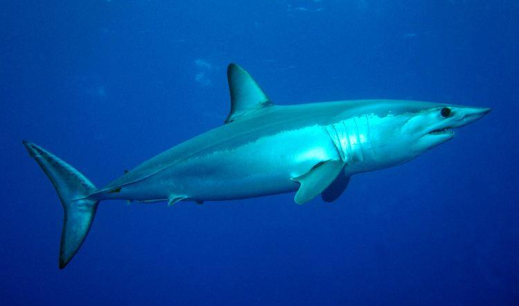 Shortfin mako shark Isurus oxyrinchus