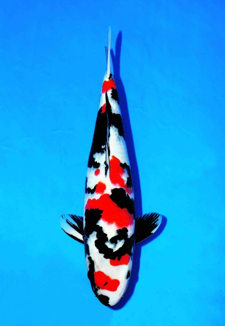 Showa (fish) Tancho Showa All Things Koi Pinterest Black Red black and Red