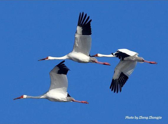 Siberian crane Siberian Crane International Crane Foundation