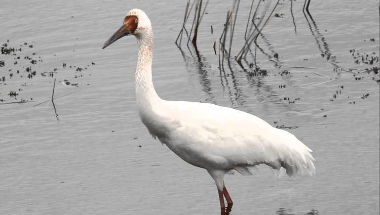Siberian crane Siberian Crane FullHD JH1RNZ YouTube