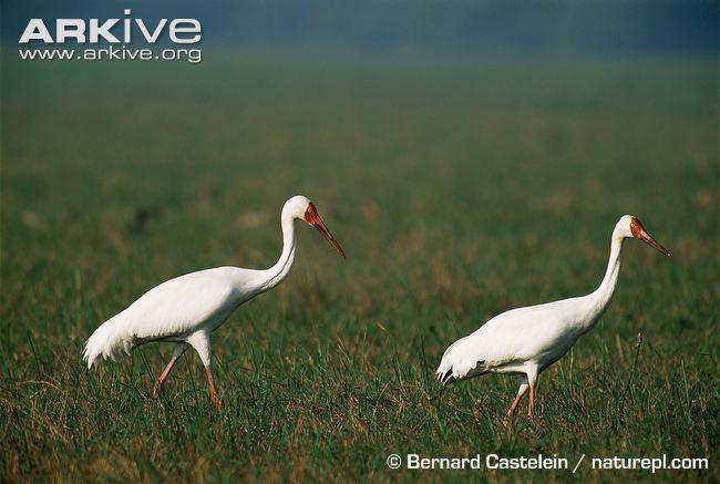 Siberian crane Siberian crane videos photos and facts Leucogeranus leucogeranus