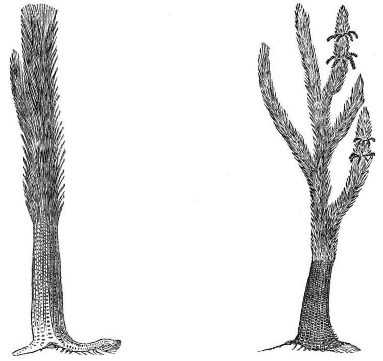 Sigillaria Sigillaria