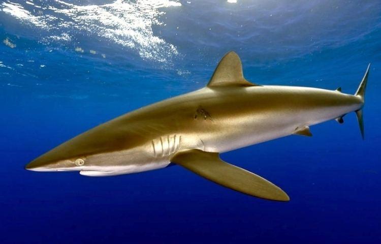 Silky shark Silky Shark quotOCEAN TREASURESquot Memorial Library