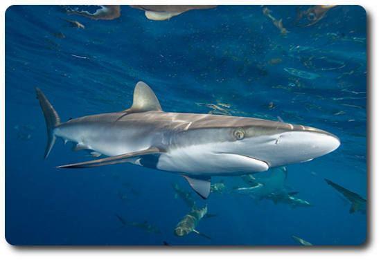 Silky shark Learn Interesting Shark Facts About The Silky Shark Shark Sider