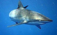 Silky shark httpsuploadwikimediaorgwikipediacommonsthu
