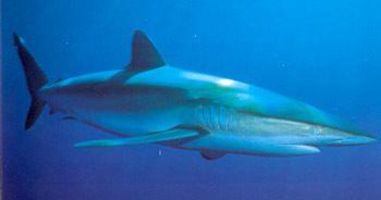 Silky shark Silky Shark Information amp Pictures of Silky Sharks