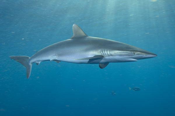 Silky shark Don39t be afraid of the shark Silky Sharks