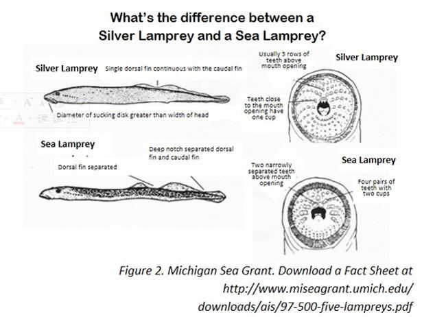 Silver Lamprey Alchetron The Free Social Encyclopedia