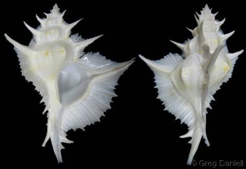 Siratus alabaster wwwgastropodscomShellImagesSSiratusalabaste
