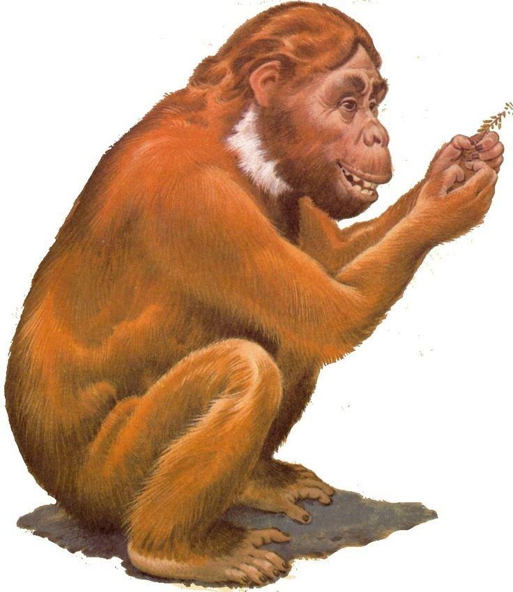 Sivapithecus Sivapithecus a Miocene ape thought to be ancestral to the Orangutan