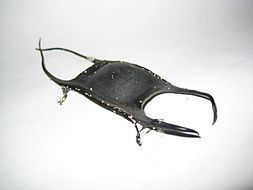 Skate (fish) Skate fish Wikipedia