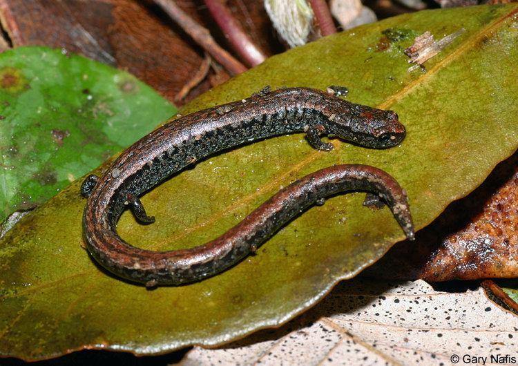 Slender salamander California Slender Salamander Batrachoseps attenuatus