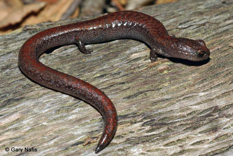 Slender salamander wwwcaliforniaherpscomsalamandersimagesbmmajor