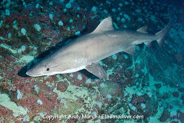 Smalltooth sand tiger Smalltooth Sandtiger Shark Information and images of Odontaspis ferox