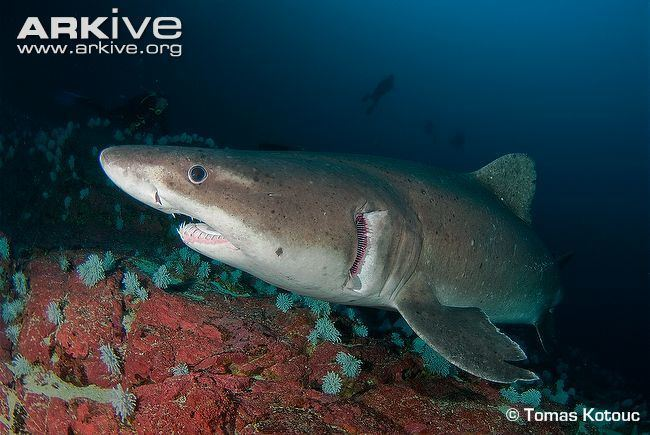 Smalltooth sand tiger Smalltooth sand tiger shark videos photos and facts Odontaspis