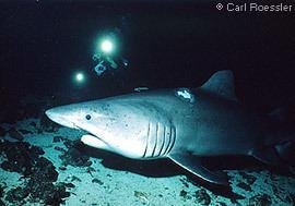 Smalltooth sand tiger Smalltooth Sand Tiger Sharks Odontaspis ferox MarineBioorg
