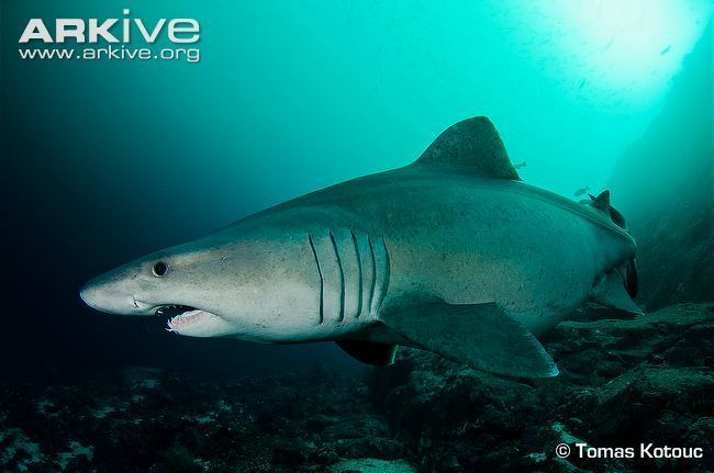 Smalltooth sand tiger Smalltooth sand tiger shark photo Odontaspis ferox G114244 ARKive