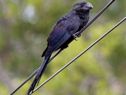 Smooth-billed ani Smoothbilled Ani Identification All About Birds Cornell Lab of