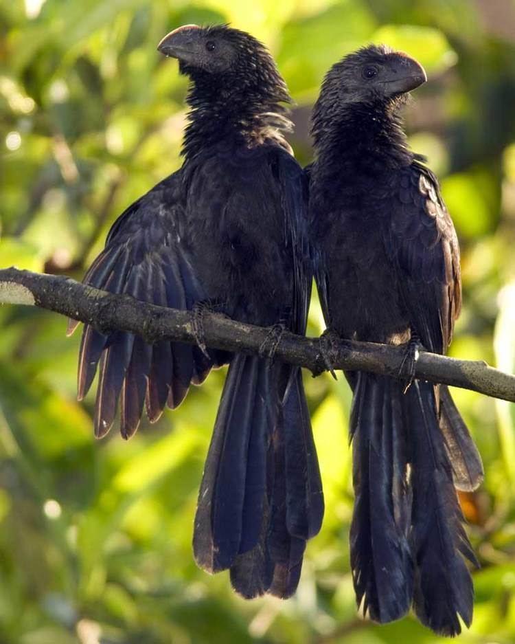 Smooth-billed ani Smoothbilled Ani Audubon Field Guide