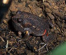 Smooth toadlet httpsuploadwikimediaorgwikipediacommonsthu