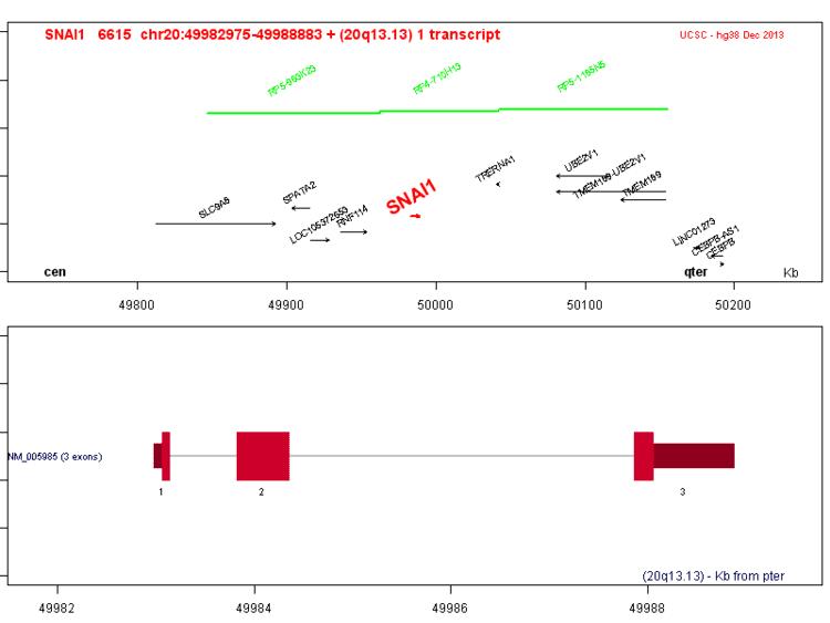 SNAI1 atlasgeneticsoncologyorgGenespngSNAI1png