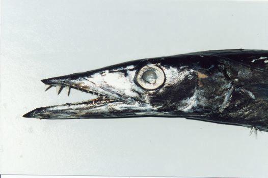 Snake mackerel Snake Mackerel Gempylus serpens Cuvier 1829 Australian Museum