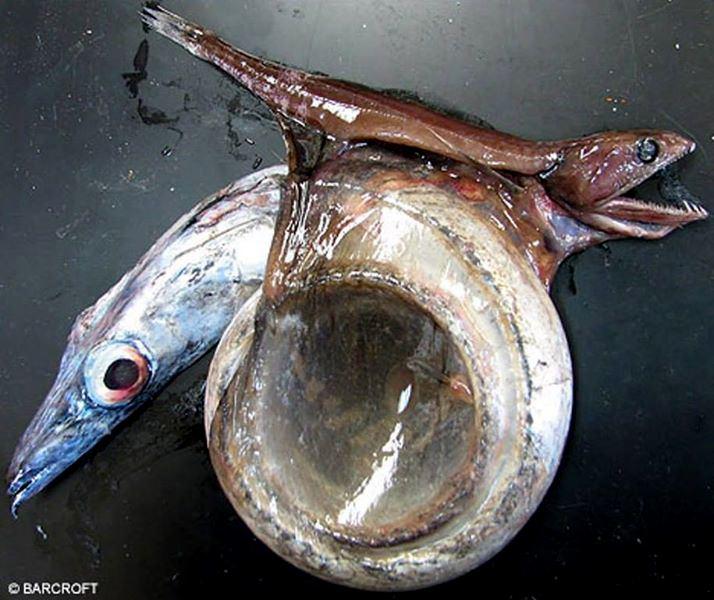 Snake mackerel Gempylus serpens