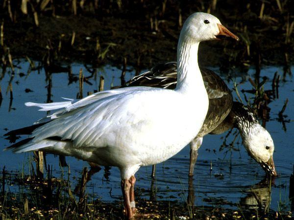 Snow goose Snow Geese Snow Goose Pictures Snow Goose Facts National Geographic