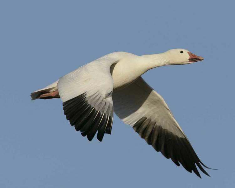 Snow goose Snow Goose Audubon Field Guide
