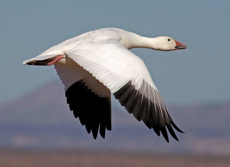 Snow goose 1000 ideas about Snow Goose on Pinterest Cute birds Pretty birds