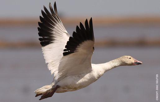 Snow goose Snow Goose Ninnescah Biology Field Station Kansas