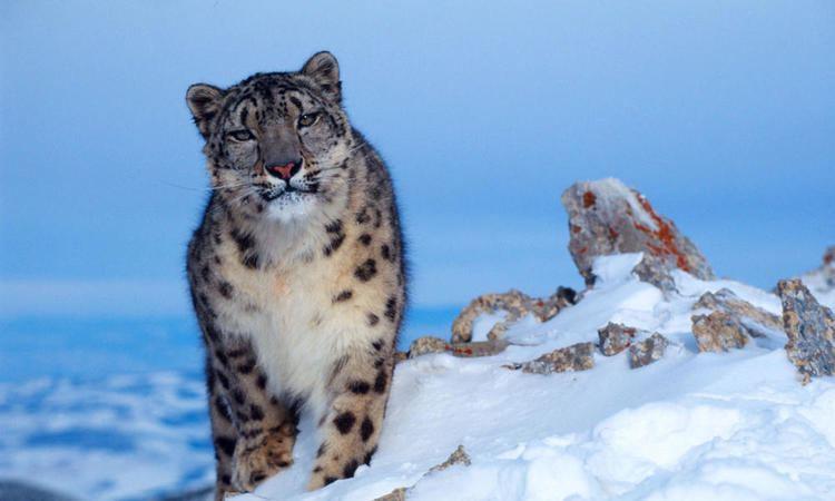 Snow leopard Snow Leopard Species WWF