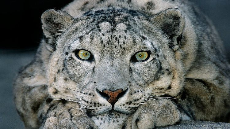 Snow leopard Snow Leopard San Diego Zoo Animals amp Plants