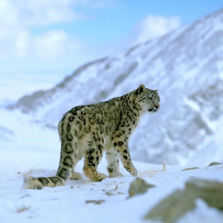 Snow leopard Snow leopards WWF
