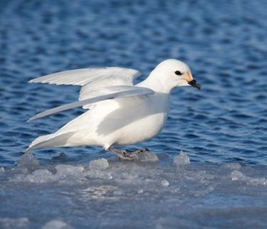 Snow petrel All About The Snow Petrel