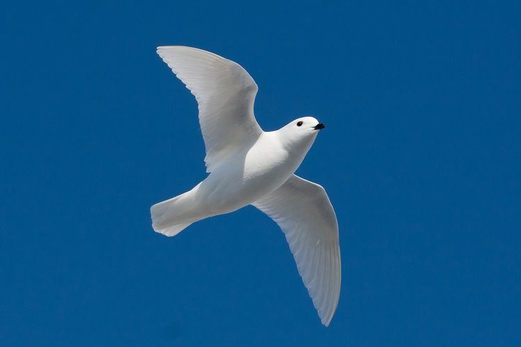 Snow petrel Snow Petrel Facts pictures amp more about Snow Petrel