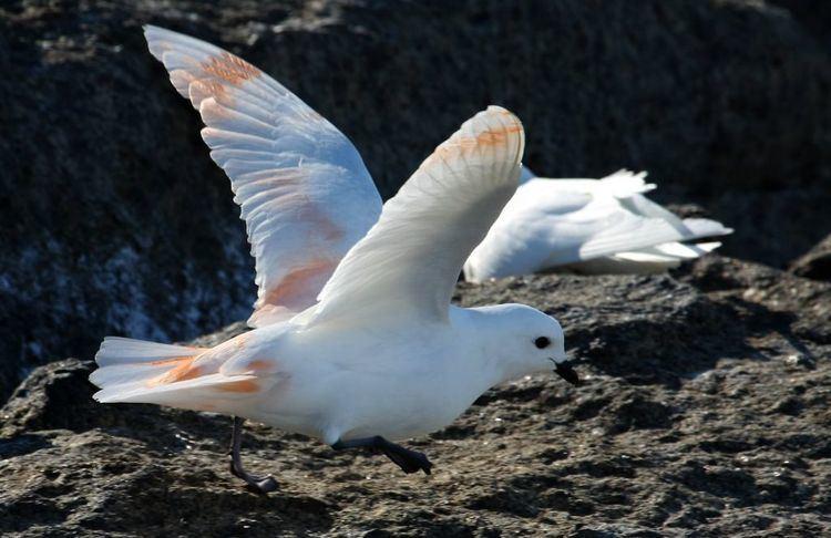 Snow petrel Snow petrel Australian Antarctic Division