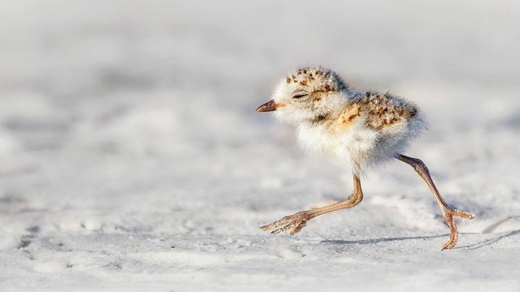 Snowy plover Snowy Plover