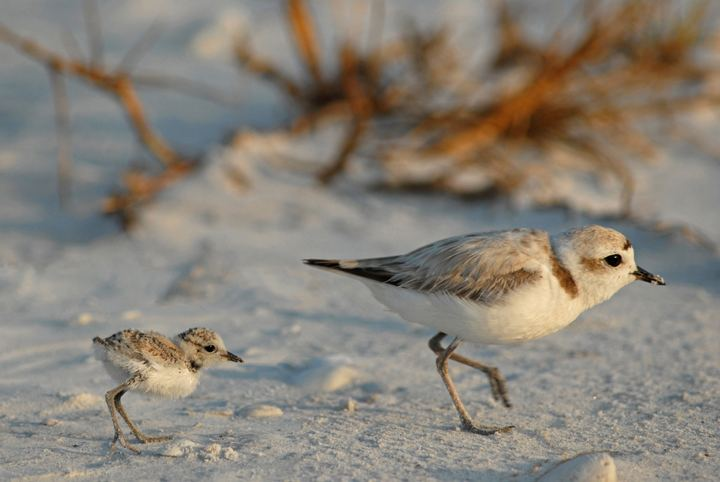 Snowy plover Snowy plovers in California find new territory Bay Nature
