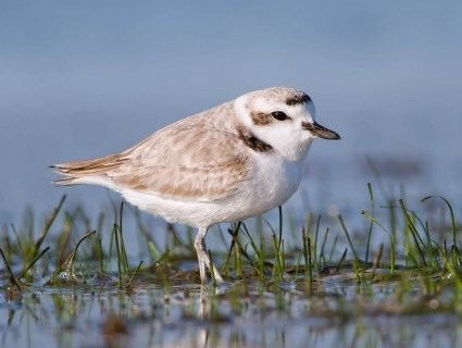 Snowy plover httpswwwallaboutbirdsorgguidePHOTOLARGESn