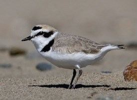 Snowy plover Snowy Plover Identification All About Birds Cornell Lab of