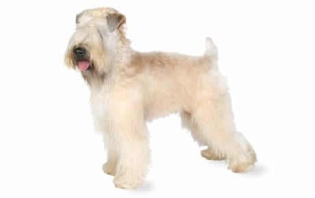 Soft-coated Wheaten Terrier Soft Coated Wheaten Terrier Dog Breed Information Pictures