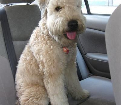 Soft-coated Wheaten Terrier Soft Coated Wheaten Terrier Dogs Soft Coated Wheaten Terrier Dog